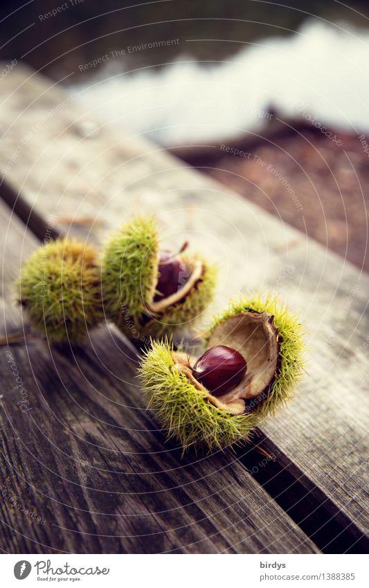 Früchte des Waldes Lebensmittel Maronen Ernährung Bioprodukte Gesunde Ernährung Herbst Wildpflanze Fruchtstand Holz ästhetisch frisch natürlich Originalität