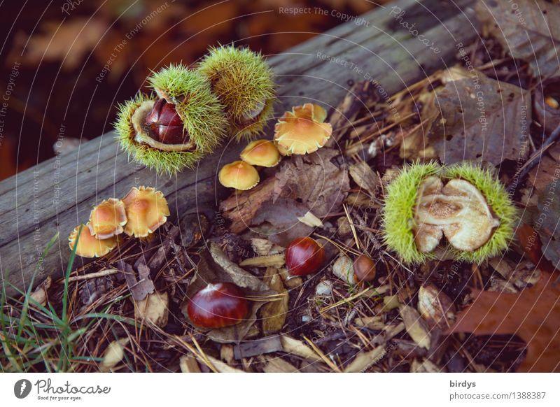 Waldfrüchte Lebensmittel Pilz Maronen Ernährung Bioprodukte Natur Herbst Wildpflanze Waldfrucht Herbstlaub Holz ästhetisch Gesundheit natürlich positiv schön