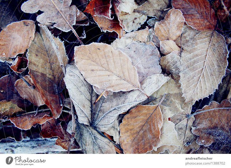 Eingefrorener Herbst Natur Pflanze Winter schlechtes Wetter Eis Frost Blatt ästhetisch elegant frisch kalt braun weiß Coolness Kraft Gelassenheit Zufriedenheit
