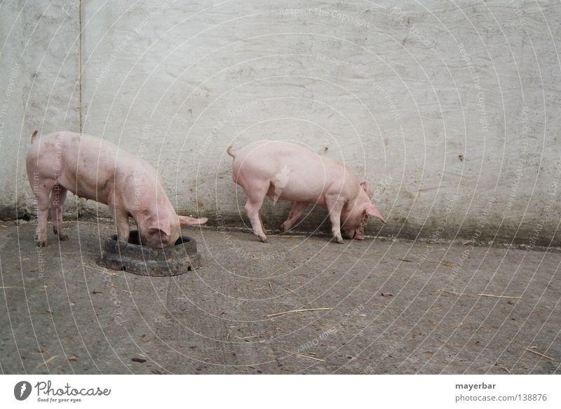 pigs Ernährung rosa Bauernhof Landwirtschaft Säugetier Schwein Nutztier Tierhaltung