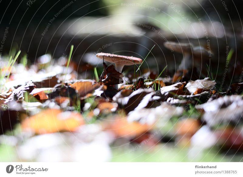 im mittelpunkt Lebensmittel Pilz Erntedankfest Umwelt Natur Landschaft Pflanze braun grün Zufriedenheit Herbst herbstlicht Sammlung Farbfoto Außenaufnahme