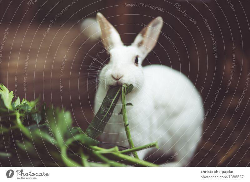 waf meinft du mit verfreffen? weiß Tier niedlich Fell Haustier Tiergesicht Fressen Hase & Kaninchen kuschlig füttern Tierliebe Streichelzoo