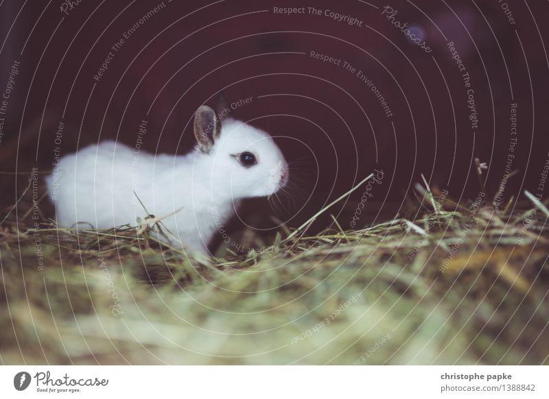 Hase mit Wachstumspotential Tier Haustier Tiergesicht Fell 1 Tierjunges entdecken klein Neugier niedlich Tierliebe Heu Stroh Hase & Kaninchen Geruch Farbfoto