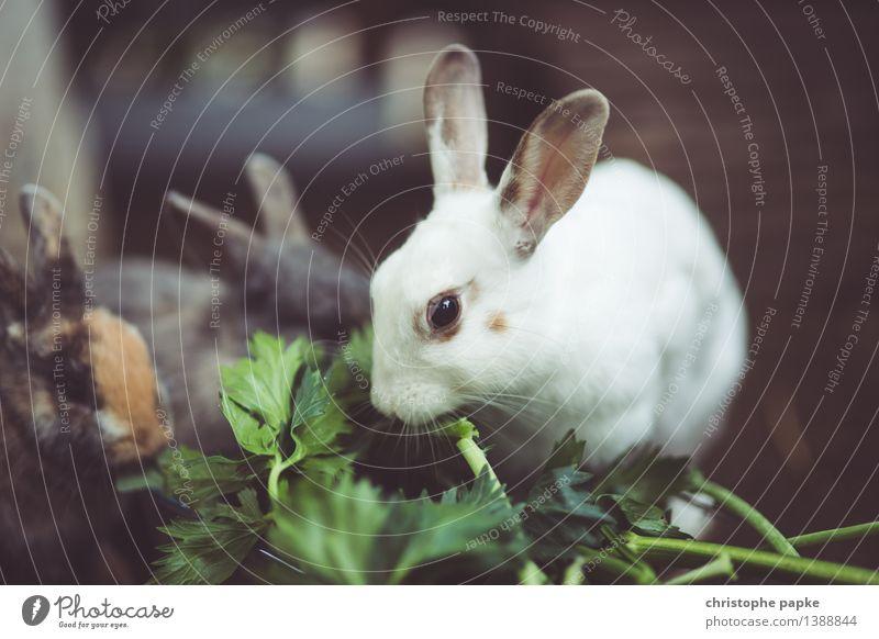 Vegetarierfütterung Tier Essen Tiergruppe niedlich Haustier Tiergesicht Fressen Hase & Kaninchen kuschlig füttern