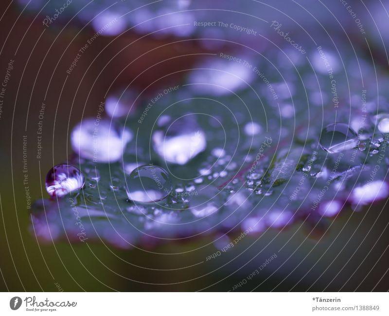 es regnet weiter III Natur Pflanze Urelemente Wasser Wassertropfen Herbst Wetter schlechtes Wetter Regen Rose Blatt Garten Park ästhetisch frisch nass natürlich