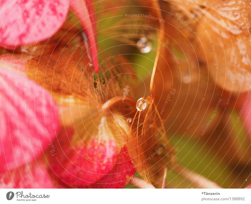 Tautropfen, nicht ganz mittig Natur Pflanze Urelemente Wassertropfen Herbst Blüte Hortensienblüte Garten Park ästhetisch frisch natürlich schön weich rosa