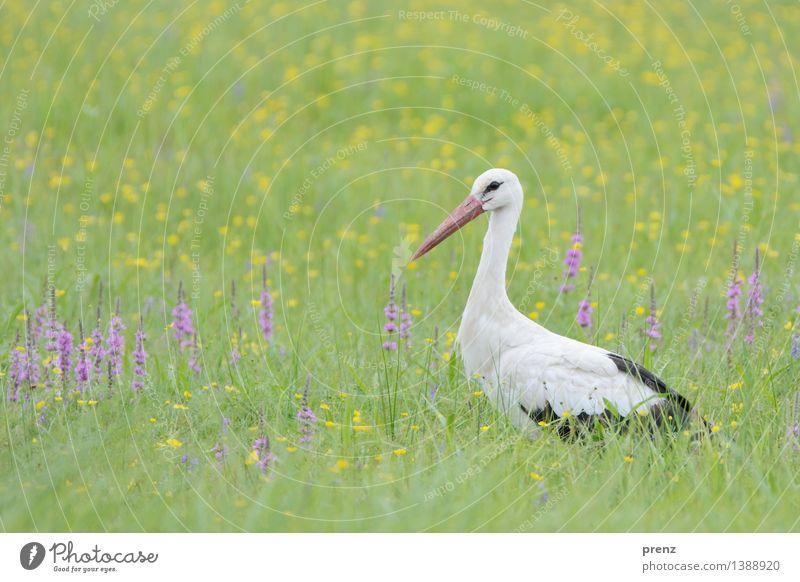 Storchenblick Umwelt Natur Landschaft Tier Frühling Sommer Schönes Wetter Gras Wiese Feld Wildtier Vogel 1 grün Storchendorf Linum Farbfoto Außenaufnahme