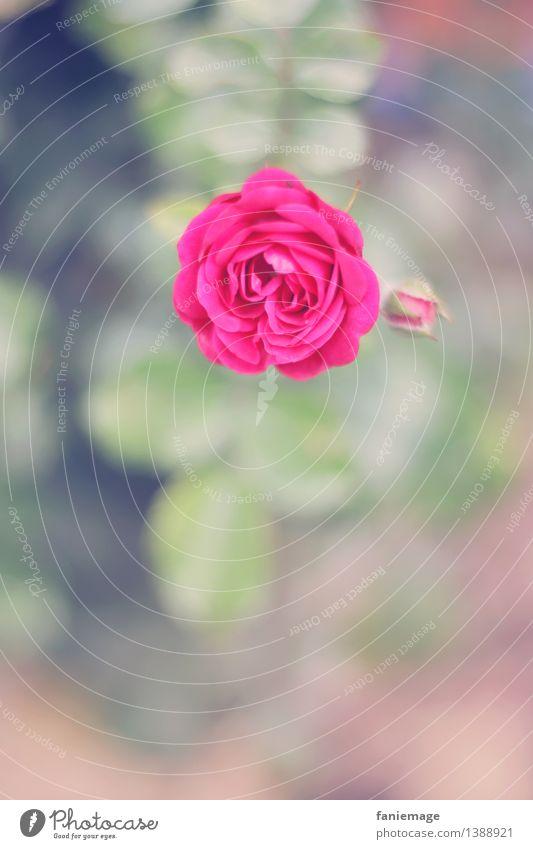 la vie en rose Natur Pflanze Sommer Herbst Rose Blüte Garten Park ästhetisch Duft kalt natürlich schön blau grün rosa Liebe Romantik Blütenknospen Rosengewächse