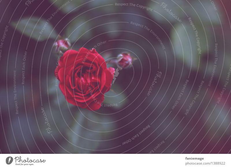 la vie en rose II Natur Pflanze Herbst Rose Garten Park ästhetisch schön Romantik dunkel Nacht Rosengewächse Rosenblüte Rosengarten rot herausstechend Liebe