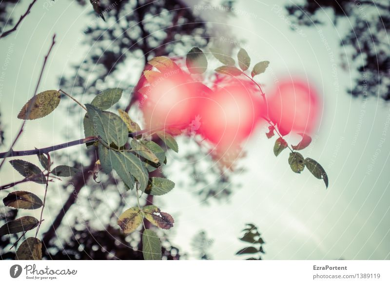 Was war noch im Hagebuttentee? Natur Pflanze Baum Blume rot Blatt Umwelt Herbst Garten Frucht leuchten verrückt Rose trashig Hundsrose