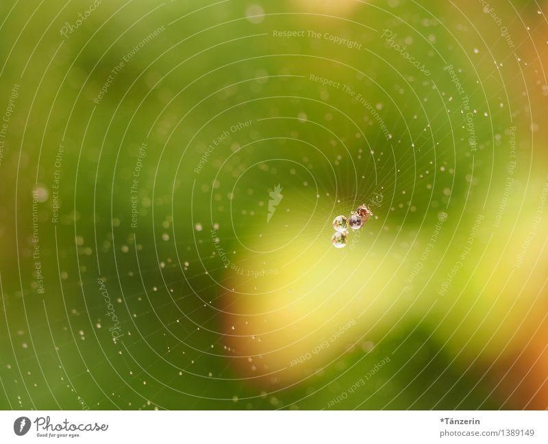 Perlen im Netz IV Umwelt Natur Urelemente Wassertropfen Tier Spinne 1 ästhetisch frisch nass natürlich positiv schön gelb grün Spinnennetz Tau Farbfoto