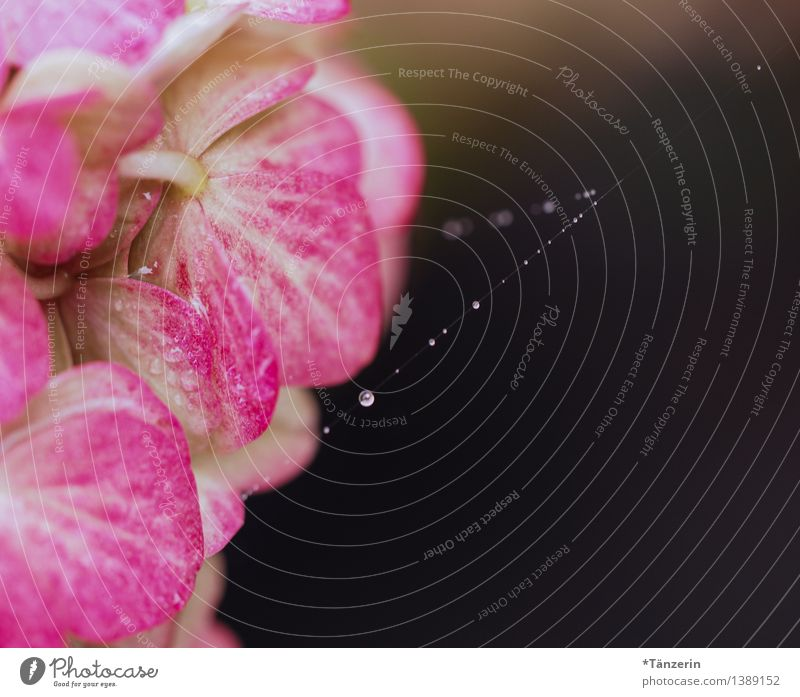 Perlenkette III Natur Pflanze Urelemente Wasser Wassertropfen Sommer Herbst Regen Blüte Hortensienblüte Tau Spinngewebe Garten Park ästhetisch elegant frisch