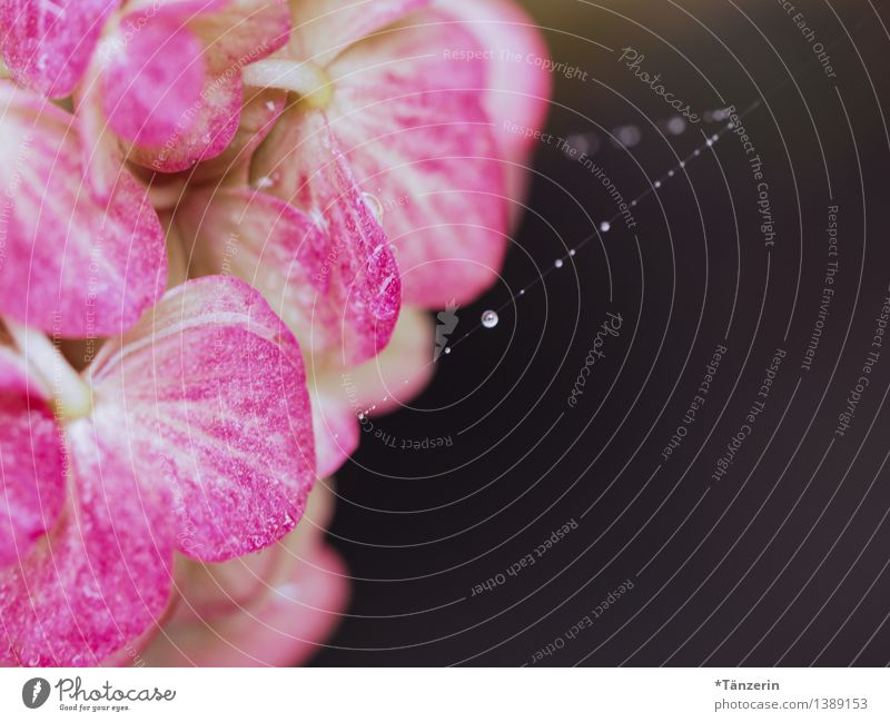 Perlenkette II Natur Pflanze schön Sommer ruhig Blüte Herbst natürlich Garten rosa Park frisch elegant ästhetisch Wassertropfen nass