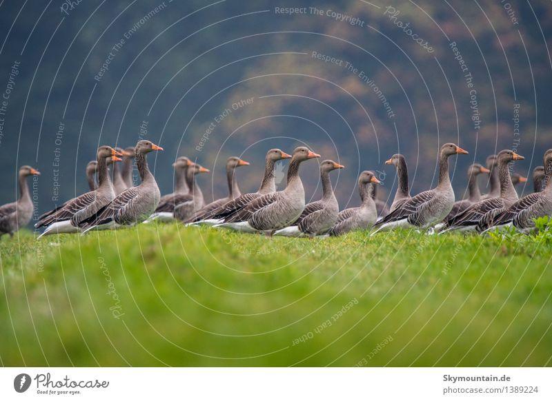Graugänse Umwelt Natur Landschaft Pflanze Tier Klima Wetter Schönes Wetter Baum Gras Wiese Feld Hügel Seeufer Flussufer Nutztier Wildtier Vogel Tiergesicht