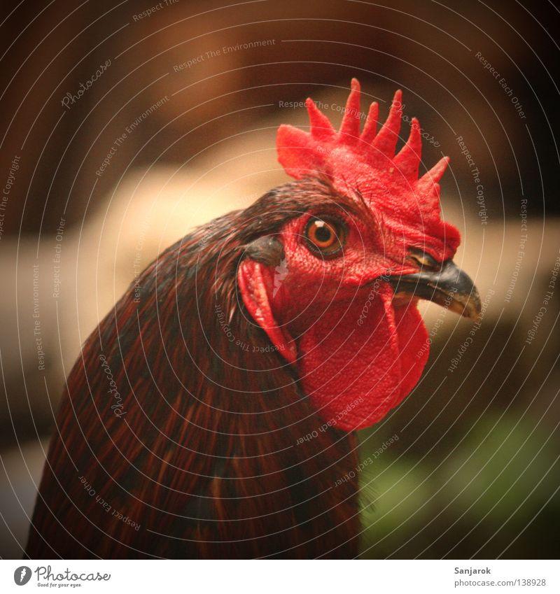 Schau mir in die Augen, Kleines! Vogel Bauernhof Wut Ei Ärger Haushuhn Flirten Hahn Kamm Tier hypnotisch Macho Harem