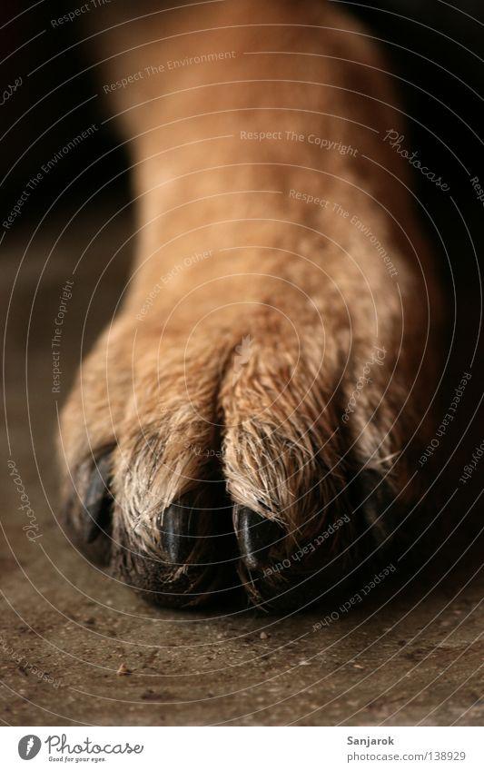 Pediküre Pfote Hund Wolf Krallen braun Fell 4 Waffe Wildnis Betonboden Stein nah Grrr Perücke Makroaufnahme Nahaufnahme Säugetier Katzenjäger Katzenhasser