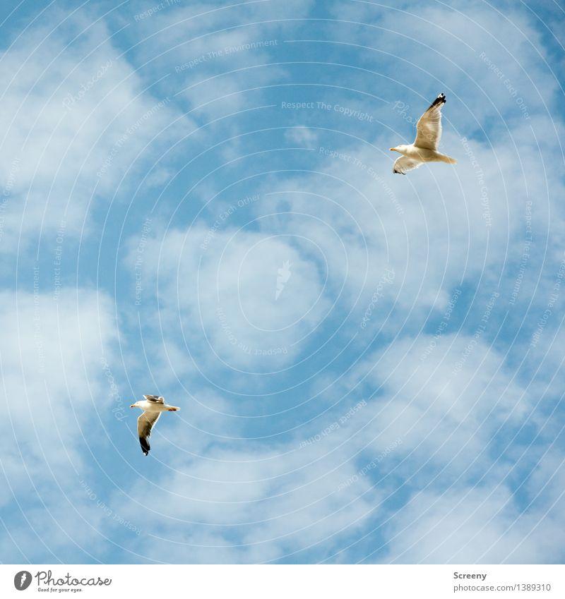 Überholmamöwer Natur Pflanze Tier Luft Himmel Wolken Sommer Schönes Wetter Nordsee Vogel Möwe 2 fliegen hoch maritim blau weiß Freiheit Farbfoto Außenaufnahme
