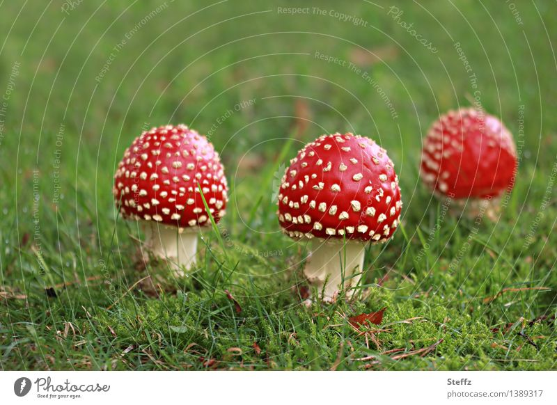 drei Glücksbringer Fliegenpilze Pilze Amanita muscaria giftige Pilze rote Pilze niedlich September Herbstbeginn herbstlich Märchen märchenhaft Rotkäpchen