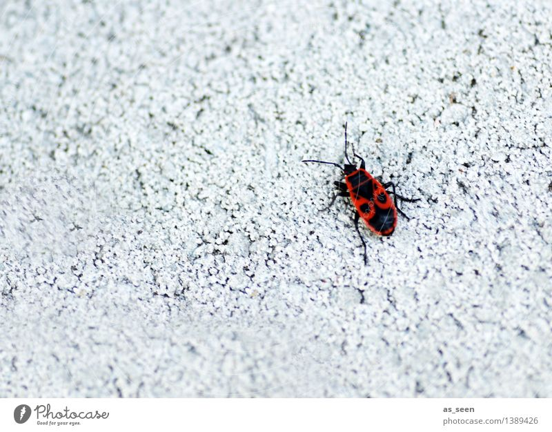 Feuerwanze Umwelt Natur Tier Mauer Wand Fassade Käfer Insekt Wanze 1 krabbeln hell klein rot schwarz weiß exotisch Farbe Wege & Pfade Muster Kontrast einsam