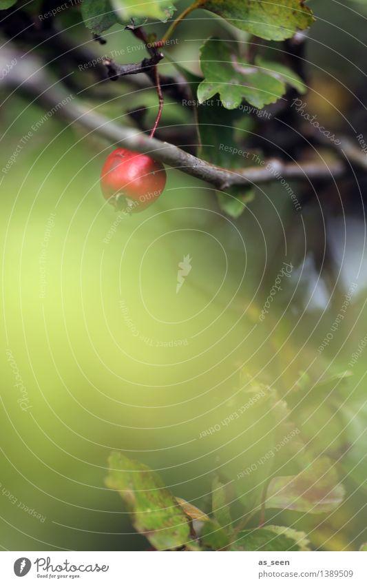 Weißdorn im Herbst Natur Pflanze grün Farbe Sommer rot Blatt ruhig Umwelt klein Garten Frucht Park Wachstum leuchten
