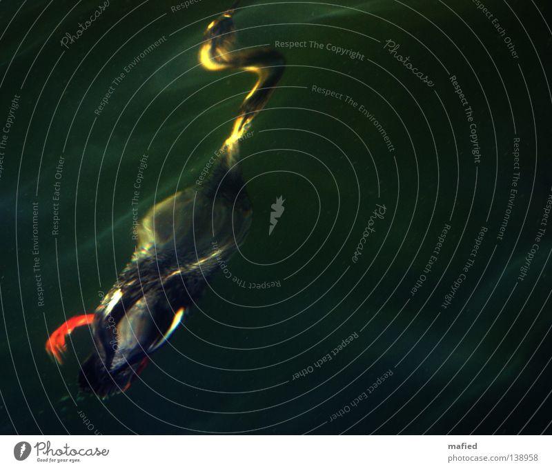 Submarine Lebensform Unterwasseraufnahme tauchen Meer Vogel Krebstier Wurm Feder grau grün schwarz Wellen Lichtbrechung tief mittelsäger mergus serrator Fisch