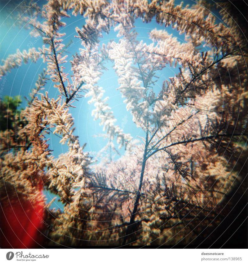 the burning bush. (sommer im herzen.) Baum Pflanze Sommer Frühling Blüte rosa Sträucher Blühend Blauer Himmel Pollen Zweige u. Äste Vignettierung Light leak
