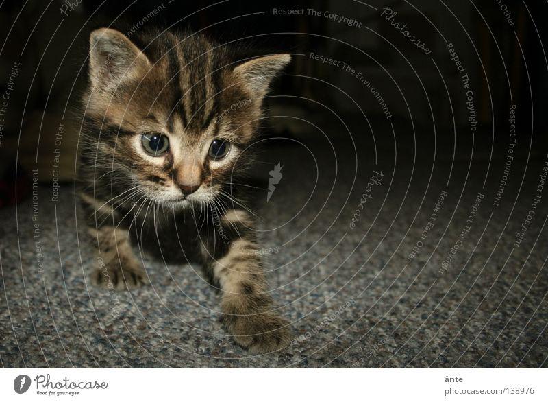 Pirsch Tier Spielen Katze klein Neugier hören niedlich Jagd gefangen Säugetier Pfote Haustier Teppich üben forschen Jäger