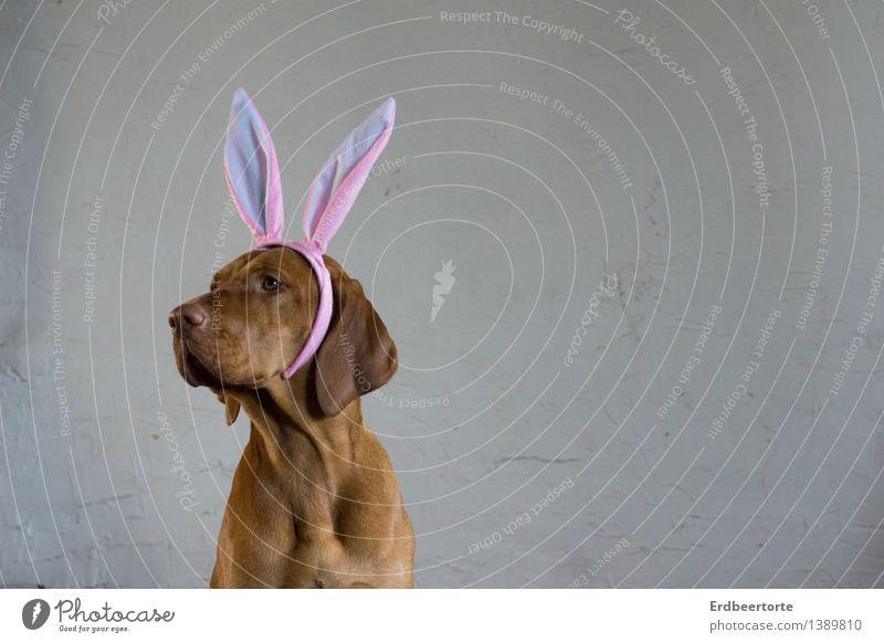 ganz Ohr sein Karneval Ostern Tier Haustier 1 lustig niedlich braun Karnevalskostüm Hase & Kaninchen Wachsamkeit Vizsla Farbfoto Gedeckte Farben Innenaufnahme