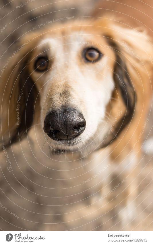 Unschuldslamm Tier Haustier Hund 1 schön Neugier niedlich braun Tierliebe Saluki unschuldig Freundschaft Schnauze Farbfoto Gedeckte Farben Außenaufnahme