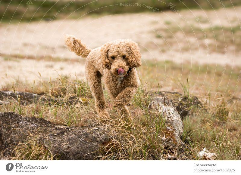 Pudelwohl Natur Landschaft Tier Haustier Hund 1 laufen toben niedlich Geschwindigkeit wild braun Lebensfreude Aktion Freude Farbfoto Gedeckte Farben