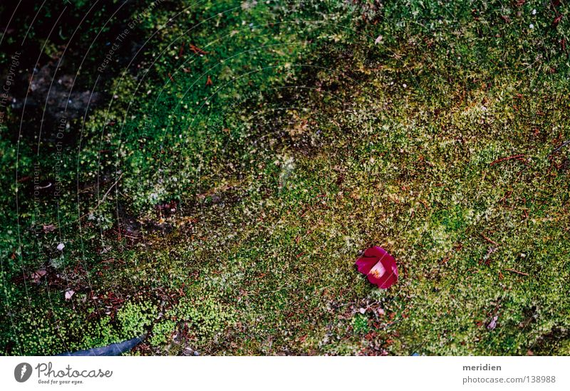 Camellia Japan Park Tsubaki Garden Yard Moss Asian Silence