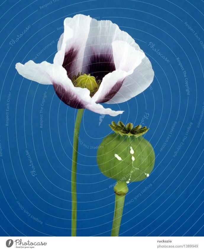 Schlafmohn, Papaver, somniferum, Alternativmedizin Rauschmittel Natur Pflanze Blüte Nutzpflanze Wildpflanze frei blau grün Toxikologie Rauschkunde Gift