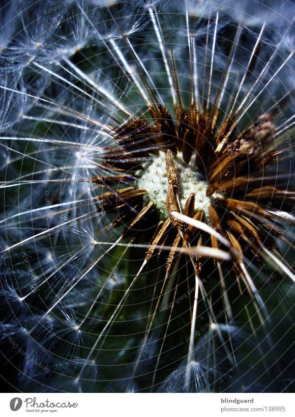 Pustekuchen Sommer Löwenzahn dunkel Gegenlicht träumen Samen Fallschirm Unschärfe Denken genießen Dämmerung glänzend weiß zart Pflanze Tier Botanik