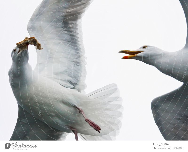 Meins! Himmel weiß Meer kalt hell Vogel fliegen Feder fangen kämpfen Fressen Möwe Norwegen Fjord Tier Polarmeer
