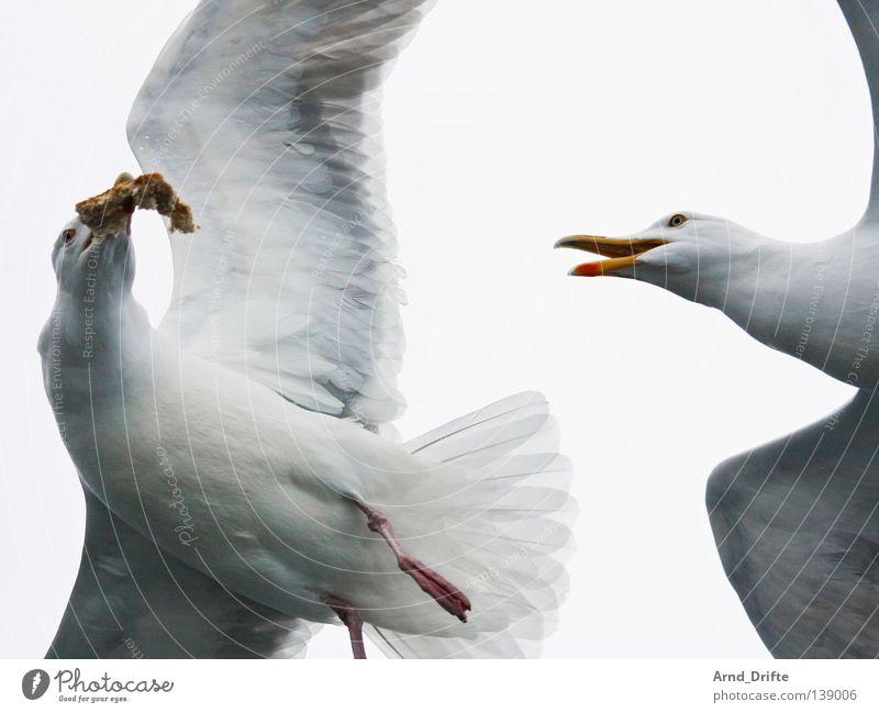 Meins! Norwegen fangen Fressen kalt kämpfen Meer Möwe Polarmeer weiß Vogel Feder Fjord fliegen hell Himmel wasservogel