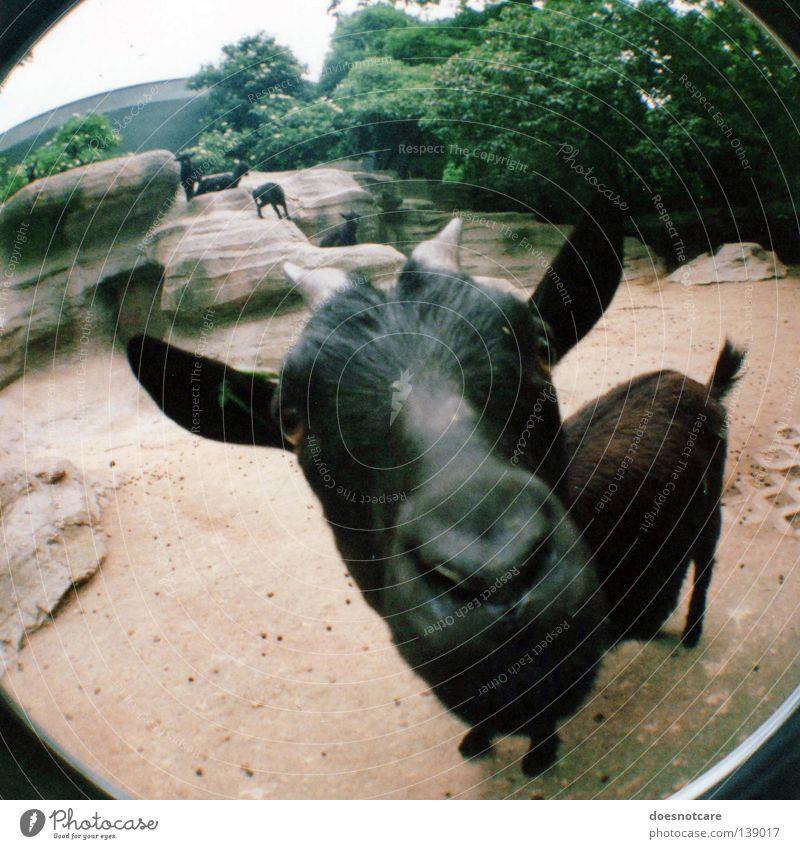 berta, the nanny-goat. schwarz Tier Säugetier Haustier Horn Stall Ziegen auslaufen Ziegenbock