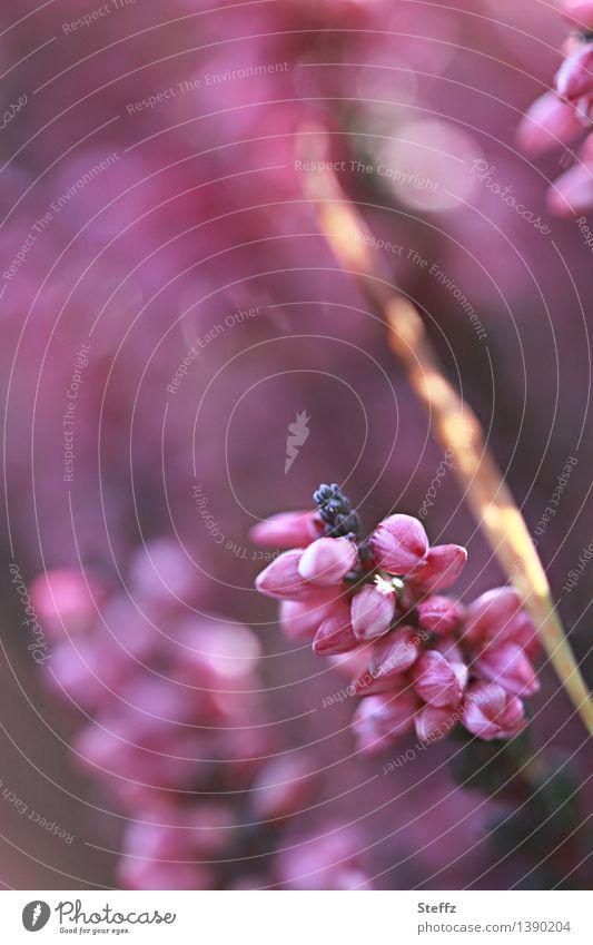 Natur im Licht Pflanze schön Sommer Stimmung rosa Blühend violett Lichtspiel Wildpflanze Heide Lichteinfall Blendenfleck Blendeneffekt lichtvoll Lichteffekt