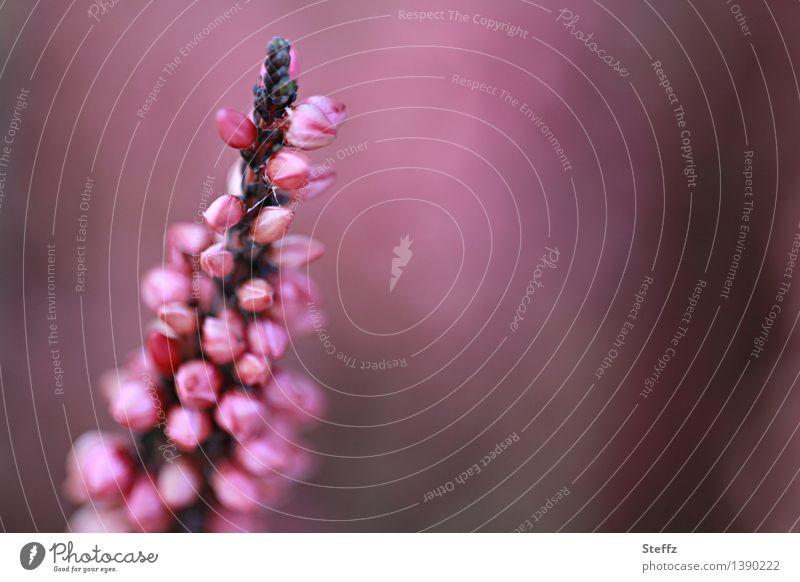 Heideblüte Natur Pflanze Wildpflanze Bergheide Heidekrautgewächse Calluna Blühend schön violett rosa Romantik Farbe Idylle Sommer Textfreiraum Unschärfe