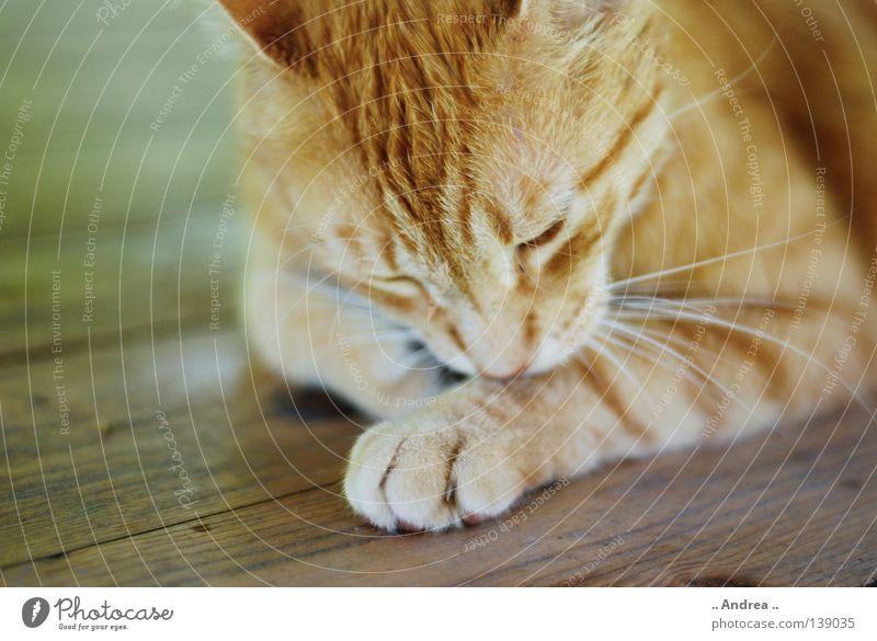 Red Tiger 11 Fell Katze Holz Reinigen Traurigkeit dreckig Freundlichkeit Sauberkeit grün rot Trauer Schnurrhaar Säugetier tigi Hauskatze mietzi cat kitten