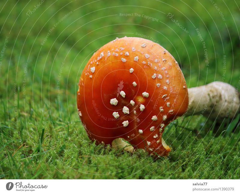 Dem Ende entgegen Umwelt Natur Tier Erde Herbst Moos Fliegenpilz Pilzhut Wiese dehydrieren kaputt Krankheit grün rot weiß Perspektive Tod Vergänglichkeit