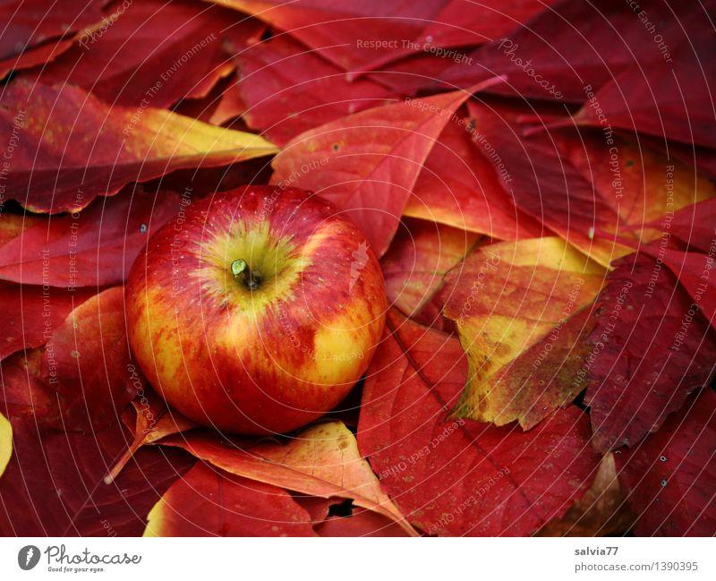 Gut getarnt Natur Pflanze rot Blatt Umwelt gelb Herbst natürlich Gesundheit Lebensmittel Frucht frisch genießen Vergänglichkeit einzigartig süß