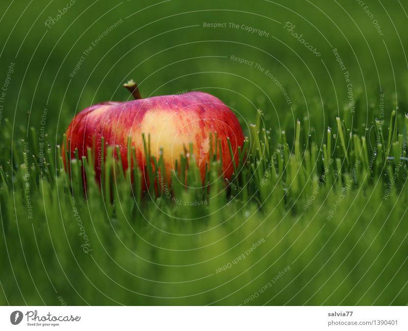 Apfel im Gras Frucht Alternativmedizin Gesunde Ernährung Umwelt Tier Erde Herbst Pflanze Grünpflanze Wiese leuchten liegen fest frisch Gesundheit gut lecker
