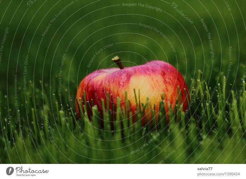 Apfel im Grünen Natur grün Farbe rot Tier Herbst Wiese Gras Gesundheit Glück Lebensmittel Frucht liegen orange leuchten frisch
