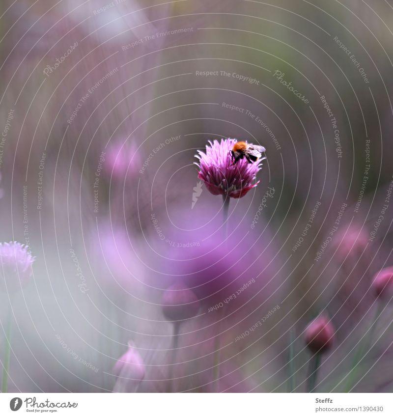 ein Sommertagstraum Umwelt Natur Pflanze Blüte Schnittlauch Garten Biene Blühend schön violett rosa Stimmung Romantik ruhig Sommergefühl Naturliebe Idylle