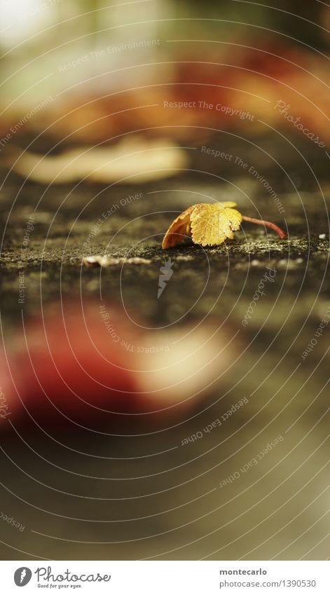auf der mauer Umwelt Natur Pflanze Herbst Wetter Blatt Grünpflanze Wildpflanze Stein alt dünn authentisch einfach einzigartig kalt klein natürlich trist trocken