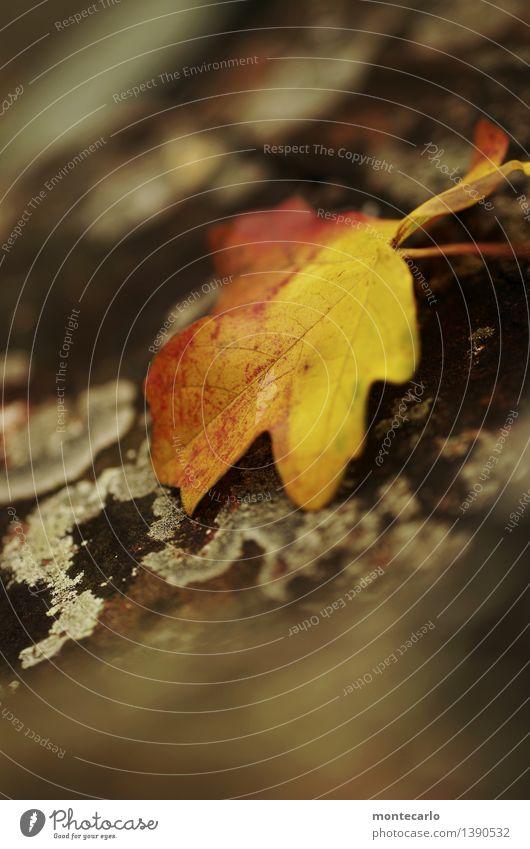herbst Umwelt Natur Pflanze Urelemente Herbst Baum Blatt Grünpflanze Wildpflanze Baumrinde alt dunkel dünn authentisch einfach kalt klein nah natürlich trist