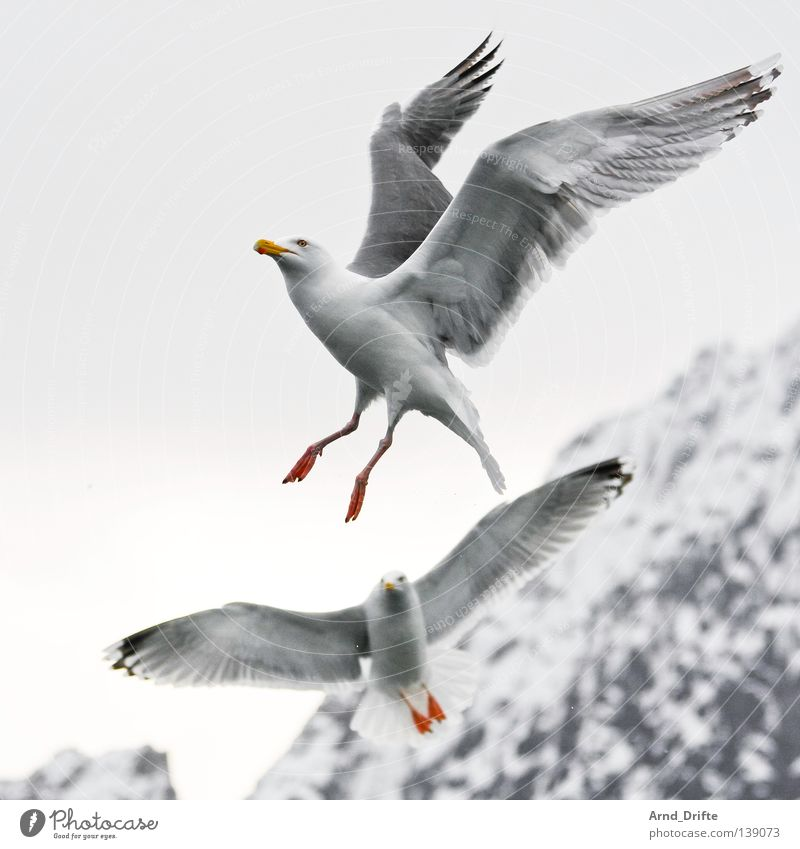 Kollegen Himmel weiß Meer kalt Schnee Berge u. Gebirge Eis hell Vogel fliegen Feder Möwe Norwegen Tier Fjord Polarmeer