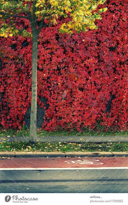 herbsttriathlon Herbst Baum Wilder Wein Jungfernrebe Kletterpflanzen Linde Herbstfärbung Fahrradweg Fußweg Fahrbahn gelb rot Farbfoto Außenaufnahme Menschenleer