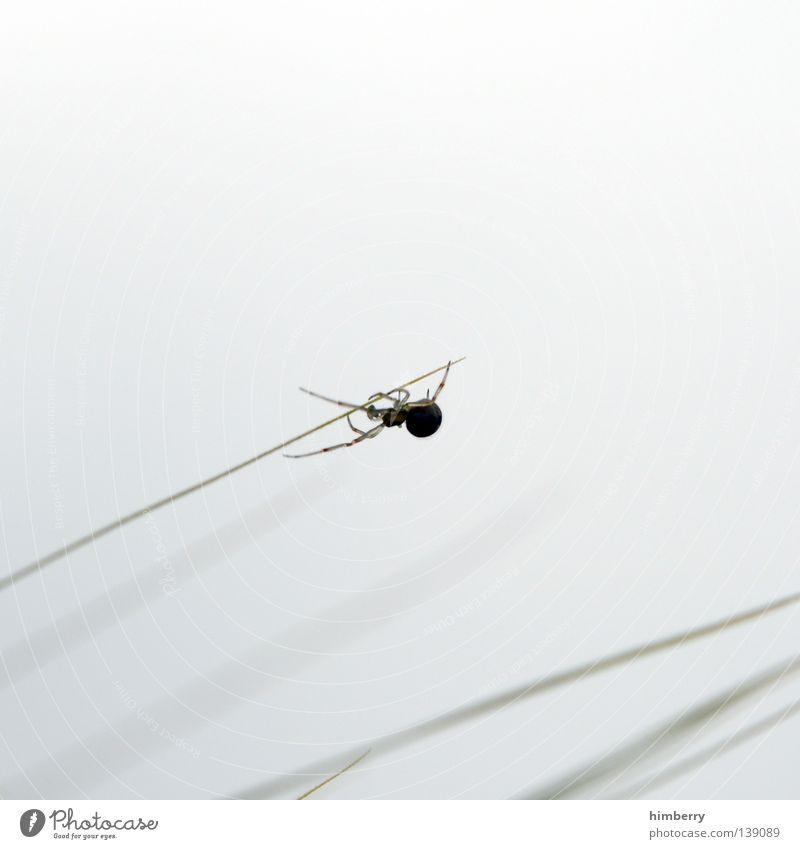 spinner Spinne Tier Gras Halm weiß Feld Park Jäger Wolken Seide krabbeln nützlich Panik Zoo Insekt Sommer spider animal Natur Freiheit webmaster hunter