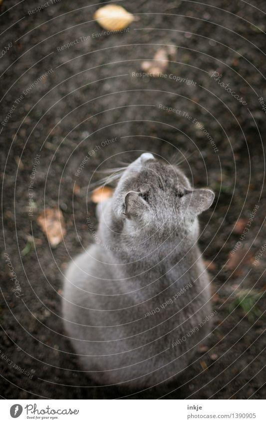 Vom Kater, der nie aus dem Weg ging. Erde Herbst Blatt Haustier Katze 1 Tier hocken braun grau Ton-in-Ton Farbfoto Gedeckte Farben Außenaufnahme Menschenleer